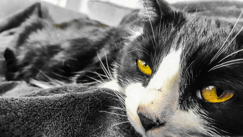 Getting ready for a cat nap EyeEm Nature Lover EyeEm Animal Lover Fur Sleep Pet Black And White Portrait Domestic Cat Feline Cat Whisker Yellow Eyes At Home Iris - Eye