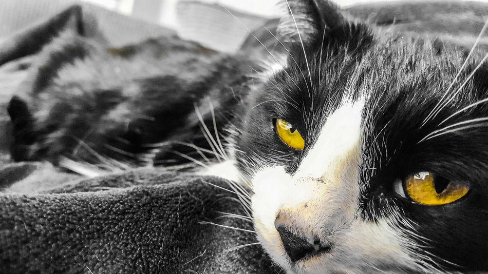 Getting ready for a cat nap EyeEm Nature Lover EyeEm Animal Lover Fur Sleep Pet Black And White Portrait Domestic Cat Feline Cat Whisker Yellow Eyes At Home Iris - Eye