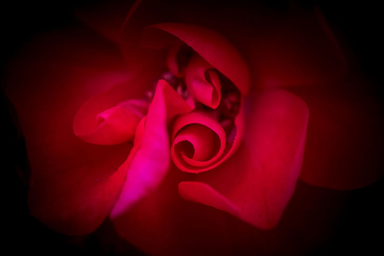 Rose - Flower Roses Rose🌹 Rose Petals Flower Head Flower Red Relaxing Swirl Beauty In Nature Petal Plant Close-up Flowering Plant Rosé Fragility Studio Shot Vulnerability  Indoors  Freshness Inflorescence Nature No People Pink Color Black Background Valentine's Day - Holiday
