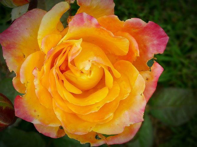 Rose🌹 Roses Are Red Orange Rose Rose Garden Orange By Motorola Imperfection Beautiful Anyway