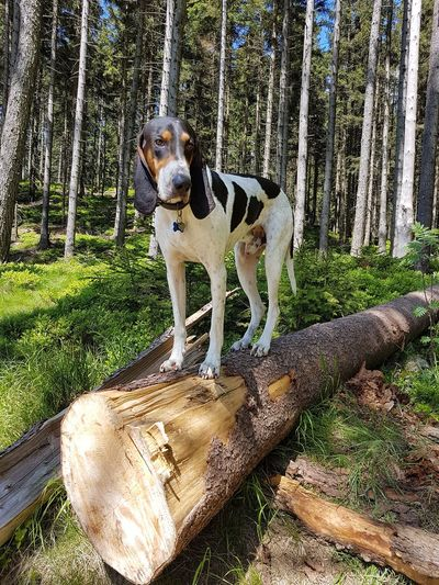 Dog Pets One Animal Animal Themes Outdoors Grass Looking At Camera Portrait No People Nature Tree Forest Photography HoundDog Wood