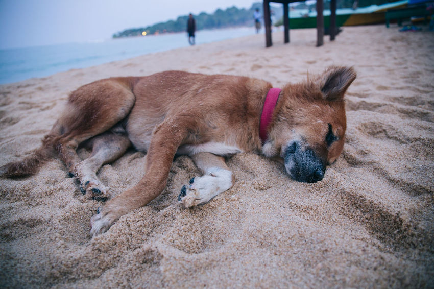 Travel in Sri Lanka Adventure Animal Themes Beach Close-up Day Discovery Dog Dogs Domestic Animals Exotic Exploring Lying Down Mammal Nature No People One Animal Outdoors Pets Relaxation Sand Sri Lanka Travel Travel Destinations Travel Photography Traveling