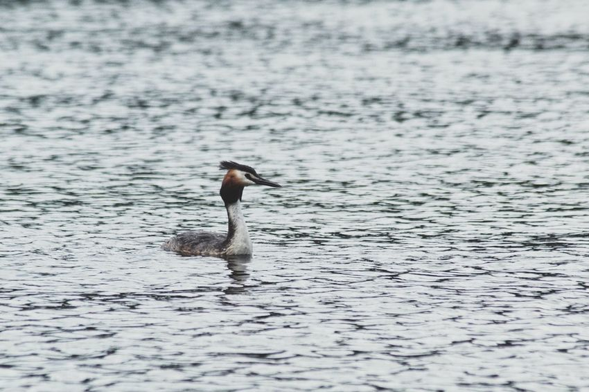 Great Crested Grebe Niklas Storm Juni 2018 Bird Water Swimming Lake Water Bird Animal Themes Floating In Water