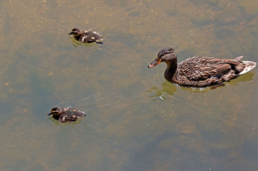 Animal Themes Animal Wildlife Animals In The Wild Bird Day Duck Duckling Floating In Water Lake Nature No People Outdoors Swimming Togetherness Water Waterfront