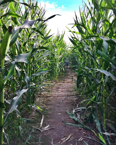 Maze Path In Nature Path Corn Maze Corn Field Halloween Searching Hidden Path The Way Forward Agriculture