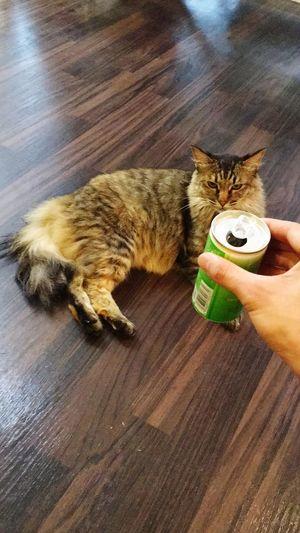 Senmu センム 専務 Cat