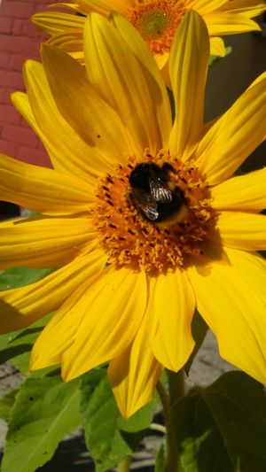 Green Leaves Leaves Buzzing Bee Buzzing Insect Insect With Wings Nature Yellow Petals Yellow Flower Yellow Flower Bumblebee On Sunflower Sun Flower Sunflower Bumblebee On Flower Collecting Pollen Bumblebee Bumble Bee Bee Wings Colour Of Life Flower Head Flower Collection Botany In The Centre