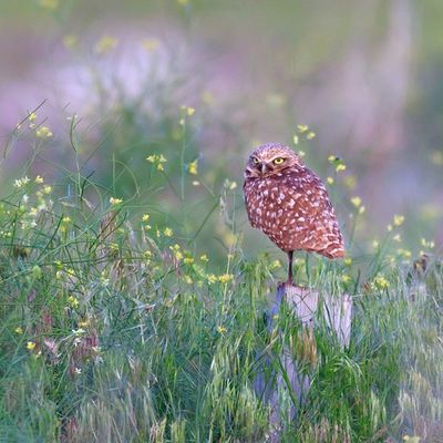 Burrowing Owl perched on wooden post within grass and flowers at sunset Igbirds Bird Burrowingowl Owl Wild Nature Utah Antelopeisland Sunset