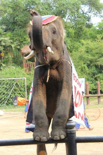 Standing Animals Elepant Elephant Nature Park Elephant Thailand Elephants Mammal
