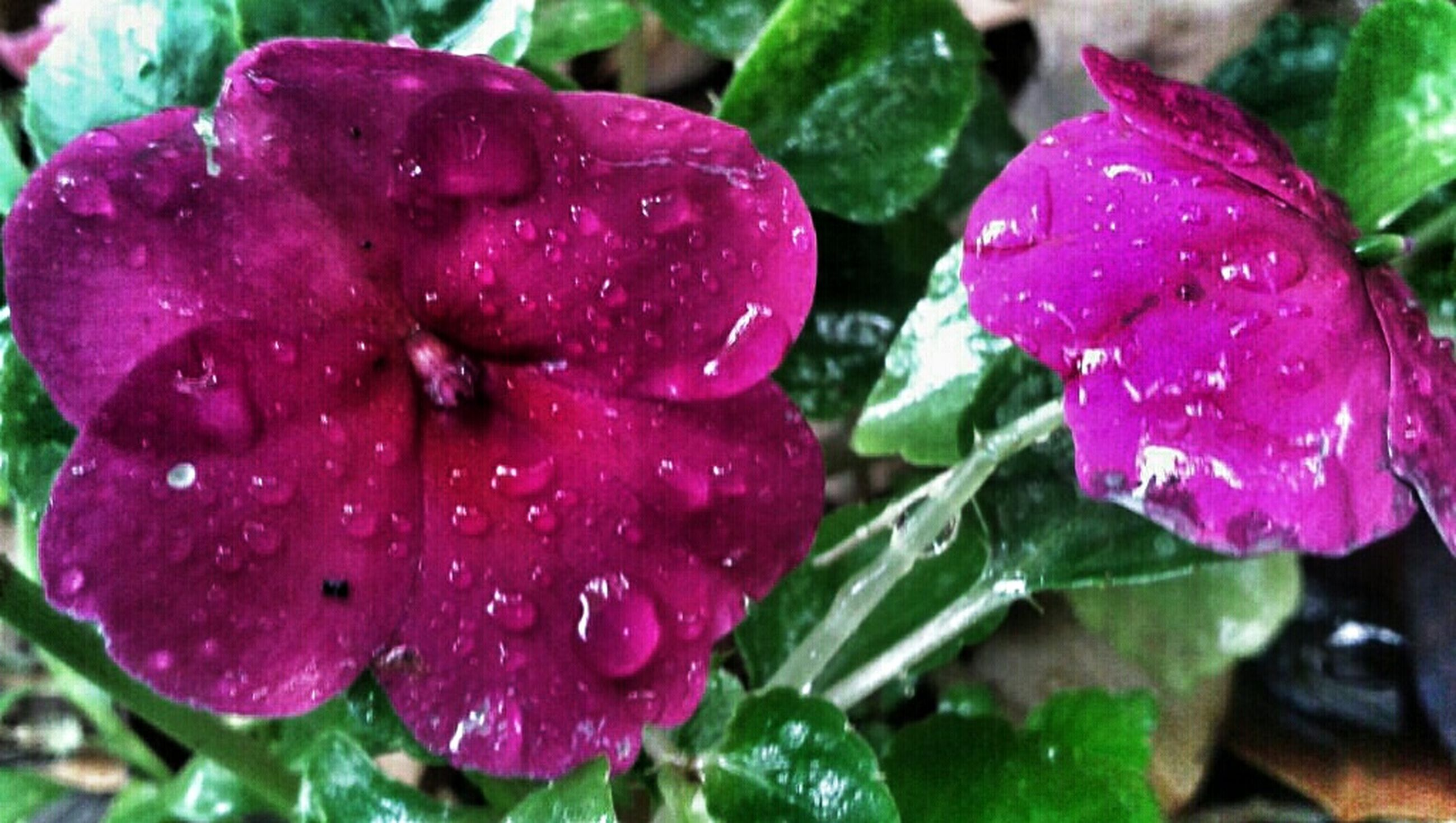flower, drop, freshness, water, petal, wet, fragility, flower head, growth, beauty in nature, close-up, pink color, nature, dew, plant, focus on foreground, blooming, raindrop, rain, in bloom