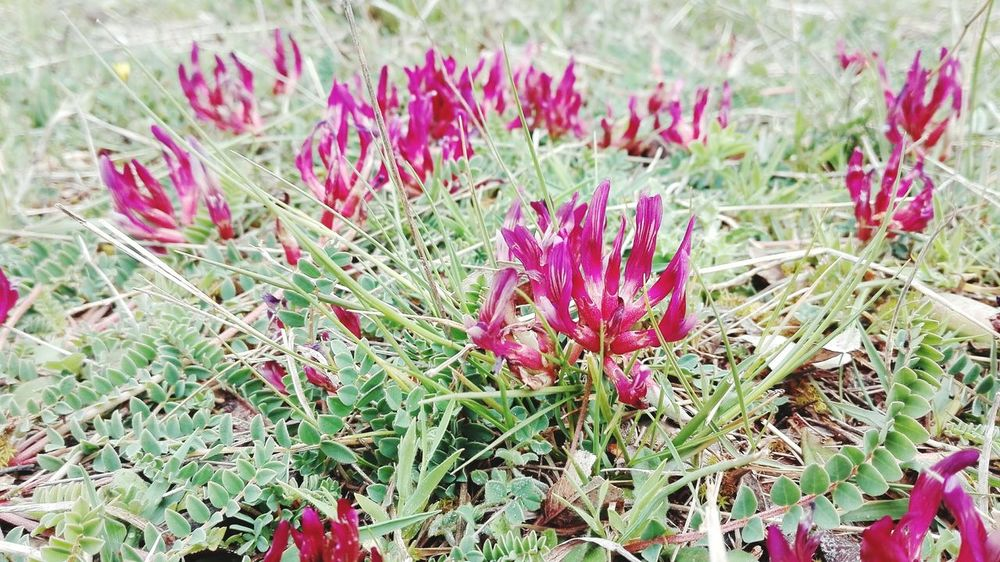 Flower Plant Nature Day Outdoors Wildflower Pink Color No People Flower Head Growth Beauty In Nature Springtime Grass Fragility Freshness Close-up
