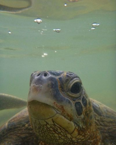 Penyu pulau pari yang indah Penyu Closeup Pulaupari KepulauanSeribu INDONESIA BeautifulIndonesia Iloveindonesia Langka Hewanlangka Underwater Face Nature Dilindungi MyAdventure Mytrip