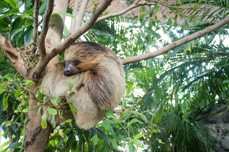 Low angle view of sloth sleeping on tree at zoo