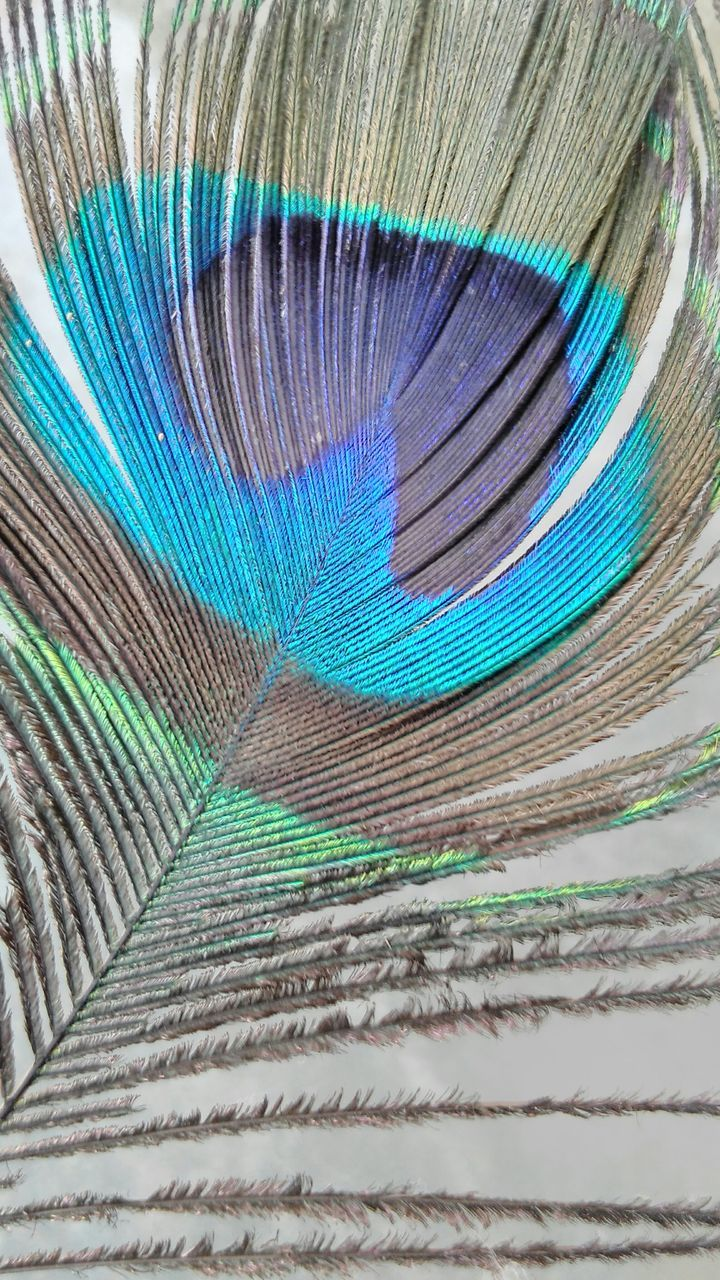 peacock, peacock feather, feather, full frame, backgrounds, close-up, no people, fanned out, pattern, multi colored, blue, fragility, bird, beauty in nature, nature, day, outdoors