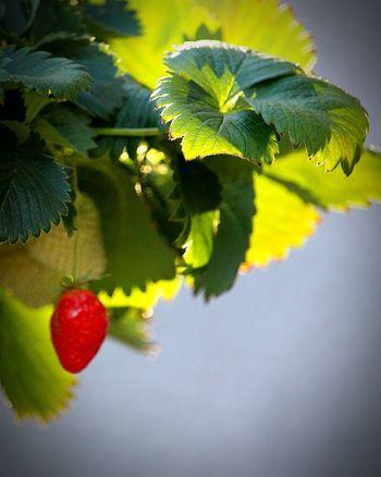 Fruit Plante Plant Fraisier Fraises Fraise