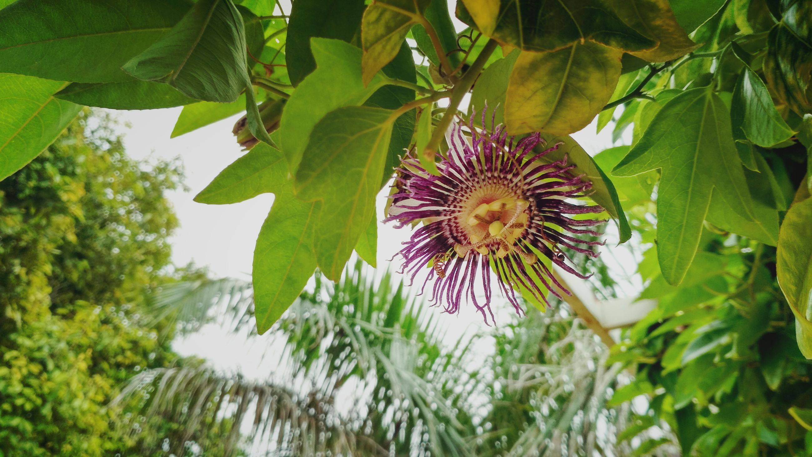 flower, growth, petal, fragility, freshness, beauty in nature, plant, nature, flower head, day, leaf, outdoors, green color, no people, blooming, close-up, park - man made space, passion flower, tree