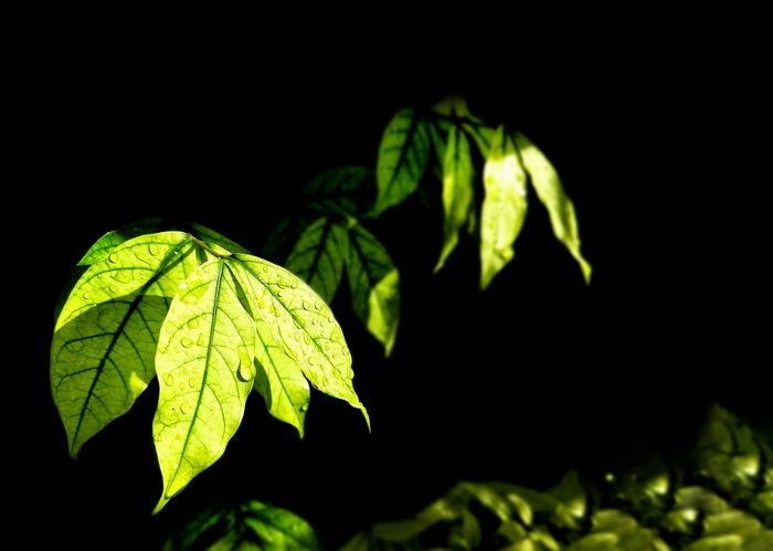 Sunlight on surface of green Wrightia religiosa Benth leaves are growing with water drops and blurred background in botanical garden, close up shot with copy space Green Colorful Environment Nature Natural Branches Stalk Water Drops Freshness Outdoor Sunlight Surface Shadow Blurred Background Botanical Garden Foreground Wrightia Religiosa Benth Plant Wild Water Plum Black Background Leaf Close-up Green Color Plant Blooming Growing In Bloom Blossom Botany Plant Life