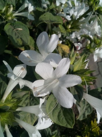 Growth Nature Freshness White Color Beauty In Nature Fragility Plants Are Friends Plants 🌱 Flowerstagram Flower Fantasy Flower Photography Bloom Days Plants Photography Full Bloom Plants Beauty Nature White Flowers White Flowers And Buds