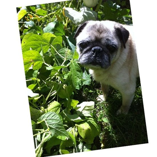 He is so happy to be alive Pug Puggy Cute Garden dog