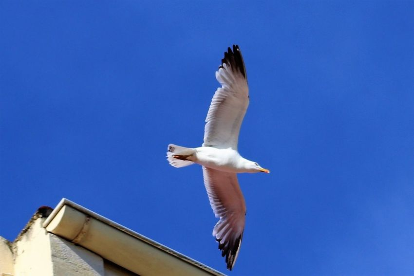 Seagul floating in the sky in Saint Raphael, France, Summer 2018 France Animal Animal Themes Animal Wildlife Animals In The Wild Beauty In Nature Bird Blue Clear Sky Copy Space Day Flapping Flying Low Angle View Mid-air Motion Nature No People One Animal Outdoors Saint Raphael Seagull Sky Spread Wings Vertebrate