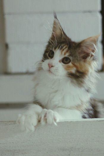 Maine Mainecoon Maincoon Kitten Kitten Sweet