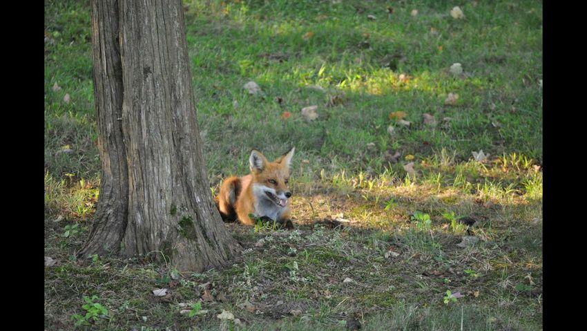 Fox Wildlife Nature Beautiful Nature EyeEm Nature Lover