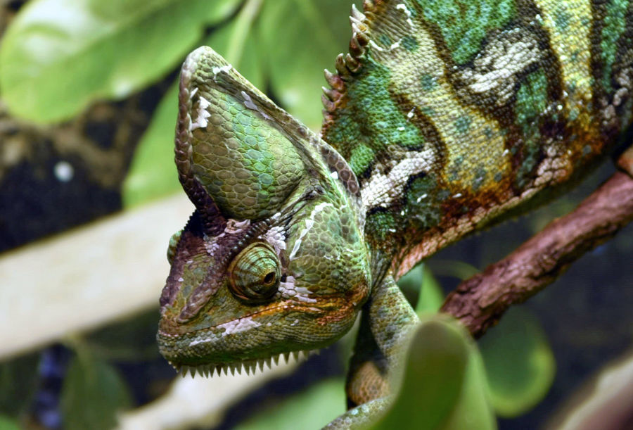 Lizard day Animal Wildlife Animals In The Wild Close-up Chameleon Reptile Nature Animal Themes Green Color One Animal Taking Photos Enjoying Life Relaxing