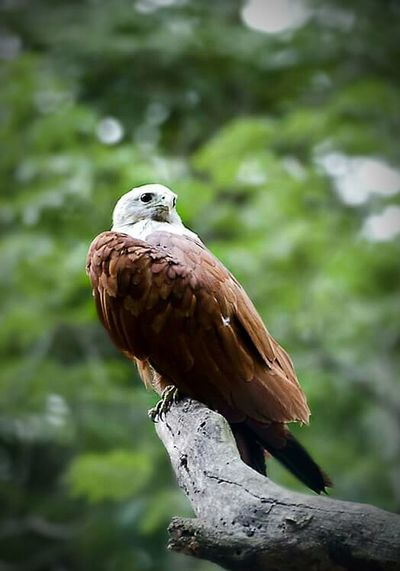 Bird Bird Of Prey Nature No People Day Tree Green Color