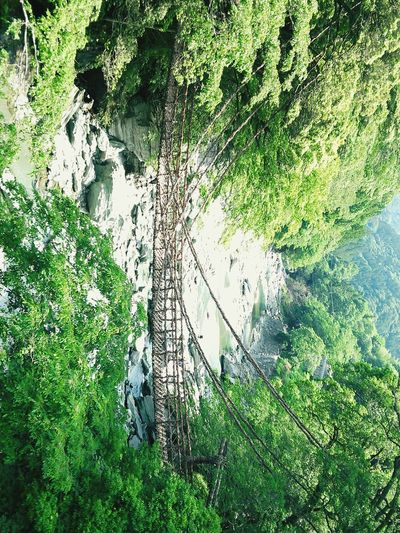 【Tokushima,Japan】Kazura Bashi かずら橋 Actinidia Arguta Kazura Bridge Bridge Iya Valley Iya Japan Tokushima Backgrounds Grass Green Color Close-up