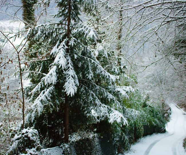Winter Snow Tree Cold Temperature Nature Weather Beauty In Nature Tranquility Outdoors Scenics Forest Branch Growth Day Tranquil Scene No People Fir Tree Tranquility The Way Forward Idyllic Nature