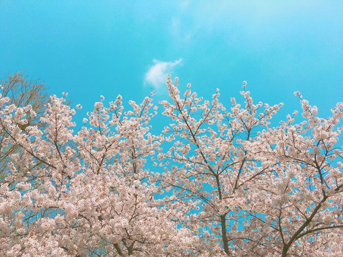 Fragility Spring Cherry Tree Outdoors Cherry Blossom Blue Cloud - Sky Pink Color No People Branch Freshness Day Nature Beauty In Nature Blossom Springtime Growth Low Angle View Flower Flowering Plant Tree Plant Sky VSCO