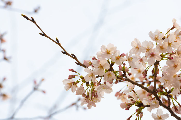 Flower Plant Flowering Plant Fragility Growth Vulnerability  Beauty In Nature Freshness Tree Branch Blossom Close-up Springtime Twig Nature Petal White Color Selective Focus Low Angle View No People Cherry Blossom Flower Head Pollen Outdoors Cherry Tree Spring