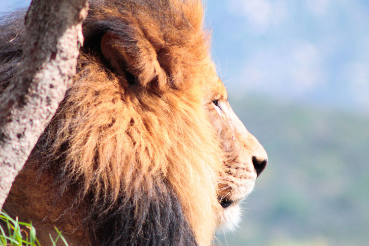 Close-up of lion on sunny day