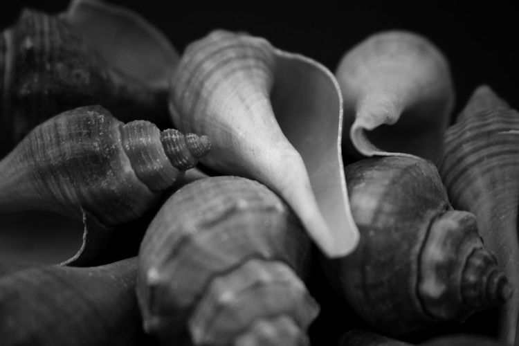 Close-Up Of Conch Seashells On Black Background
