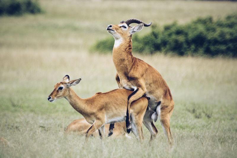 Antelopes on grassy field at queen elizabeth national park