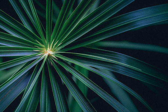 Palm Leaf Close-up Day Fragility Geometry In Nature Green Color Growth Nature No People Outdoors Perspectives On Nature Background Crafted Beauty