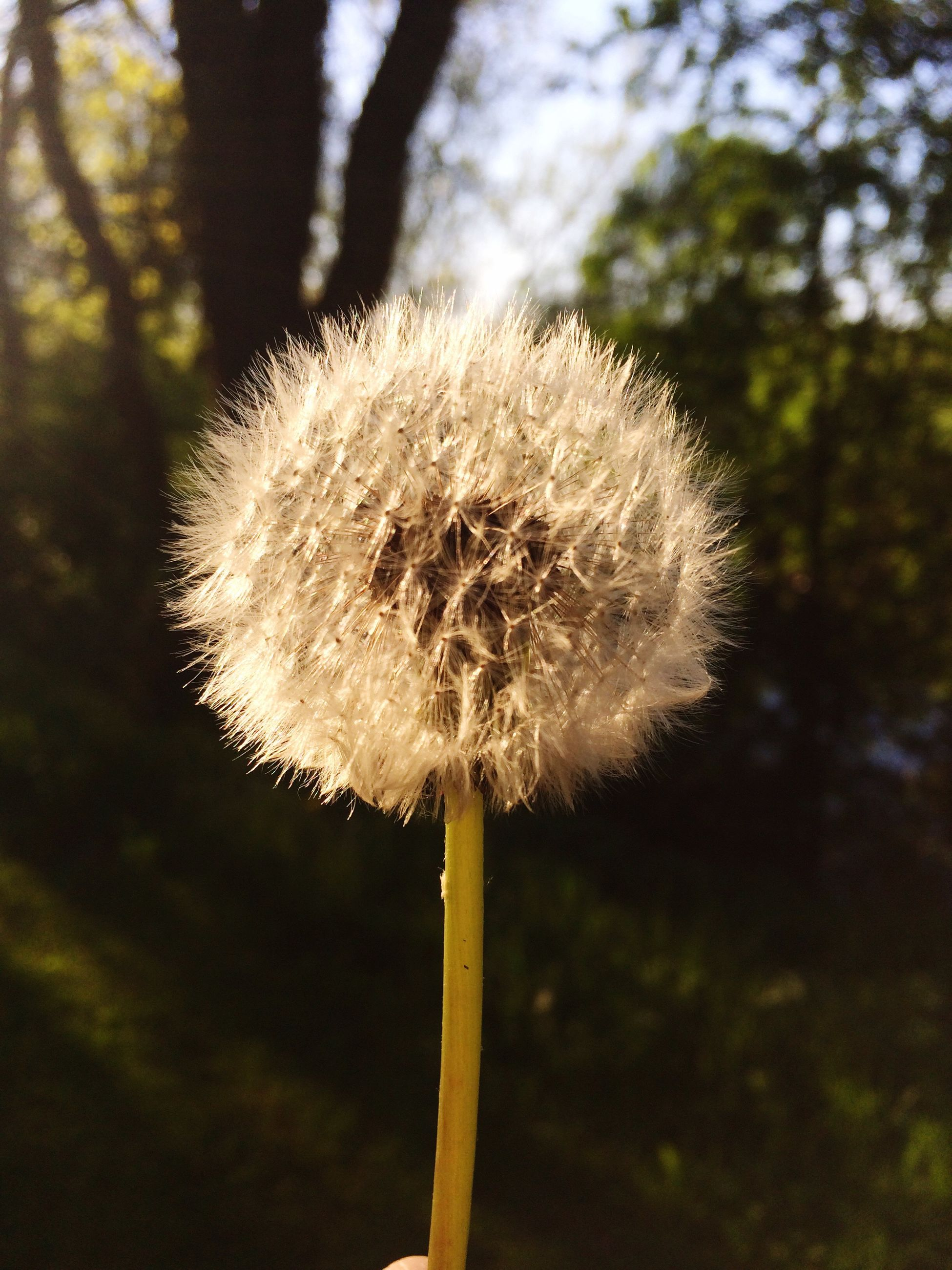 dandelion, growth, flower, close-up, focus on foreground, fragility, nature, flower head, single flower, beauty in nature, freshness, stem, uncultivated, softness, white color, day, outdoors, tranquility, plant, no people