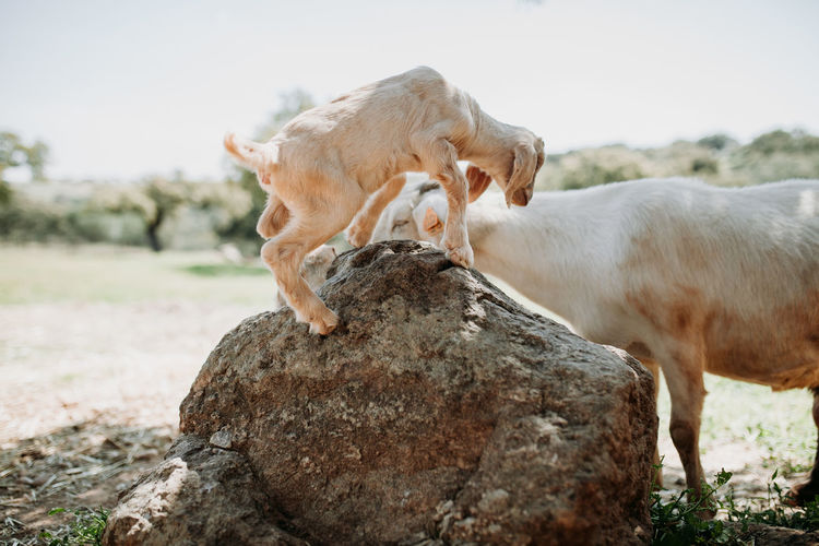 Goat Goats Goat Life Strength Animal Themes Animal Field Outdoors Herbivorous Animal Family Mammal Domestic Animals Domestic Pets Group Of Animals Rock Vertebrate Livestock Solid Rock - Object Day No People Standing Two Animals Nature Land Farm