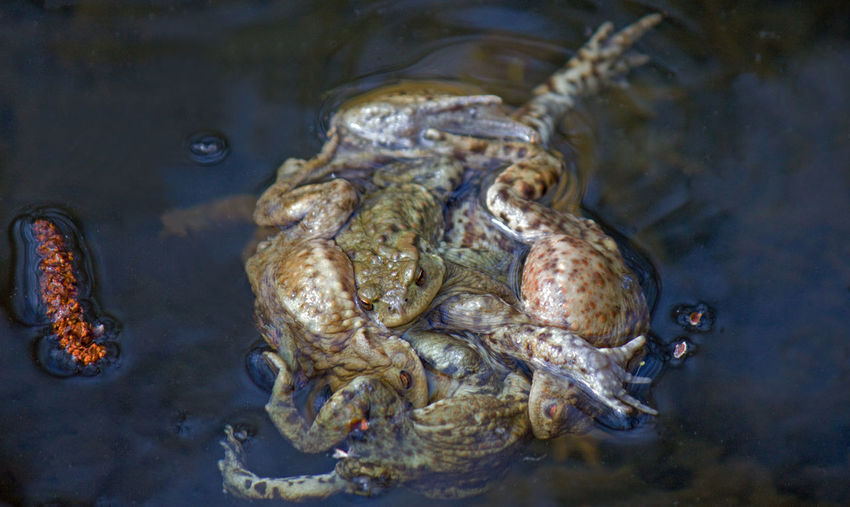 High angle view of ball  of toads mating in pond