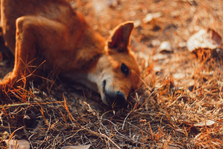 Mammal Animal Themes Animal One Animal Animal Wildlife No People Nature Land Relaxation Animals In The Wild Vertebrate Field Animal Body Part Day Domestic Animals Resting Animal Head  Outdoors Hay Selective Focus Herbivorous