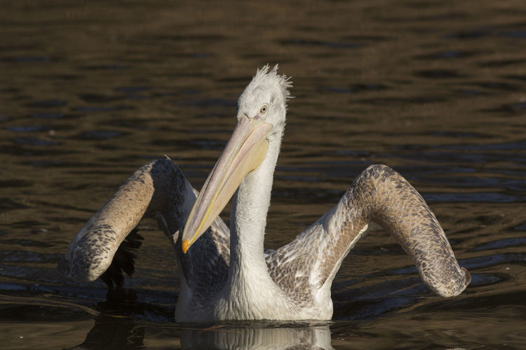 Front View Of Pelican Swimming In Lake