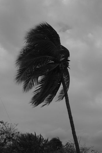Coconut Standing Strom Beauty In Nature Blackandwhite Close-up Cloud - Sky Coconut Trees Day Growth Low Angle View Nature No People Outdoors Palm Tree Sky Stromboli Island Tree