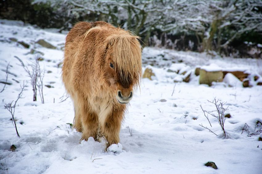 Snowdonia Animal Themes Animals In The Wild Cold Temperature Covered Covering Domestic Animals Field Focus On Foreground Frozen Landscape Mammal Nature One Animal Outdoors Season  Shetland Pony Snow Weather White Color Wildlife Winter
