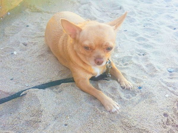 Walking on the beach Spent The Day With My Dog Dog Relaxing In Beach Dog❤ Beautiful ♥ Enjoying Life ♥ My Favorite :) Favorite Animal My Pet♡