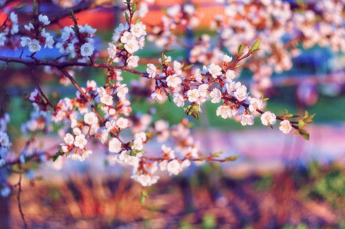 Nature Growth Beauty In Nature Flower Freshness Fragility Tree No People Springtime Outdoors Blossom Branch Day Plant Close-up Sky Flower Head Pink Color Sacura