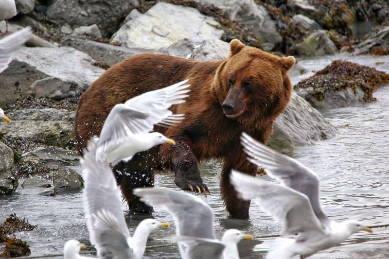 Close-up of bear chasing seagulls away