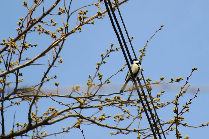 Tree Low Angle View Branch Sky Nature No People Outdoors Beauty In Nature Clear Sky Close-up Day 弘前公園 Japan Bird Great Titmouse Animal One Animal Beauty In Nature Tree