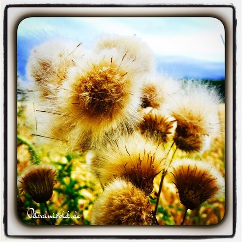 Thistles with thorns are blooming wunderful🌾🌾🌾🌾🌾🌾🌾🌾 Countryside Country Life Thistles Blooming Disteln Dornen Bluehen Countrylove