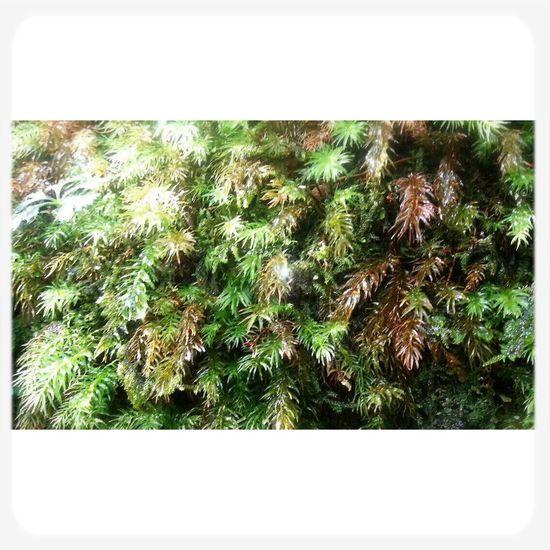 屋久島 (Yakushima Of The World Natural Heritage) Green Green Leaves Fromthetrails
