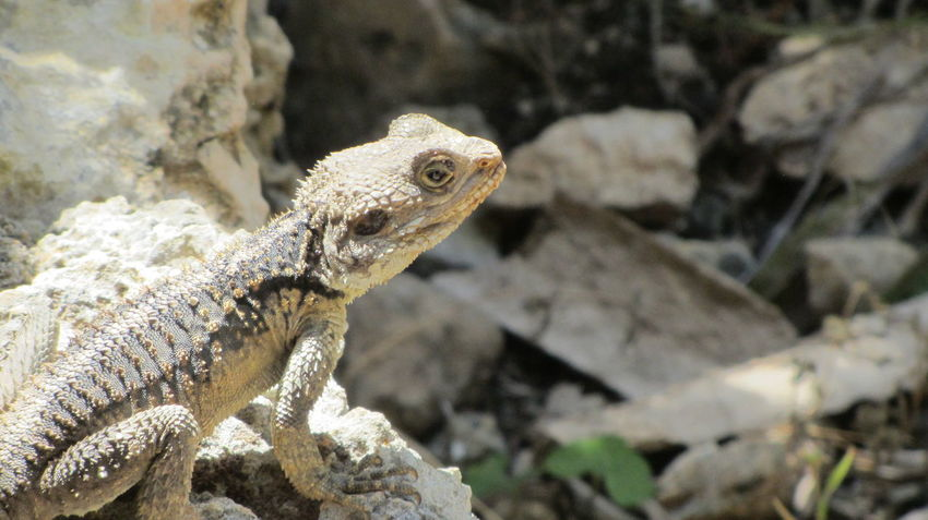 Cyprus Animal Themes Animal Wildlife Animals In The Wild Bearded Dragon Close-up Day Lizard Nature No People One Animal Outdoors Reptile Rock - Object
